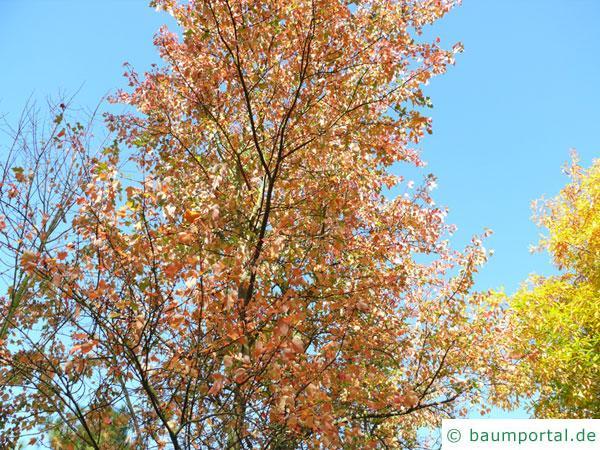 Rot-Ahorn (Acer rubrum) Baumkrone im Herbst