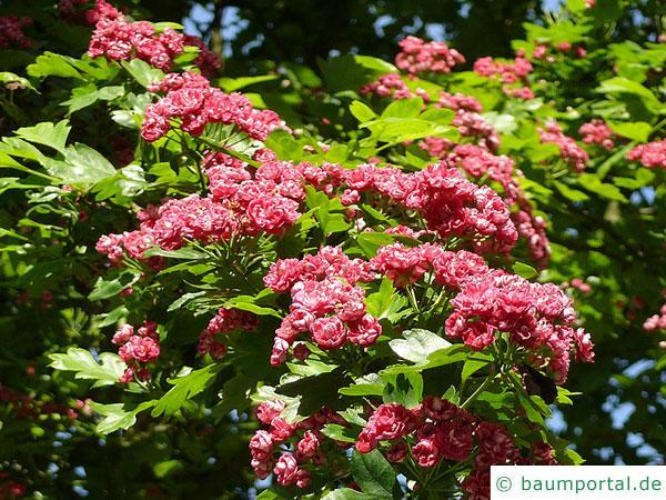 Rot-Dorn (Crataegus laevigata 'Paul's Scarlet') Blüten im Sommer