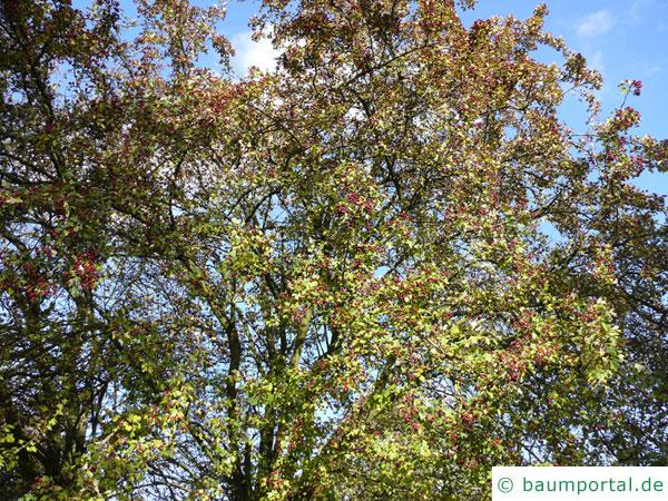 Rot-Dorn (Crataegus laevigata 'Paul's Scarlet') Krone im Sommer