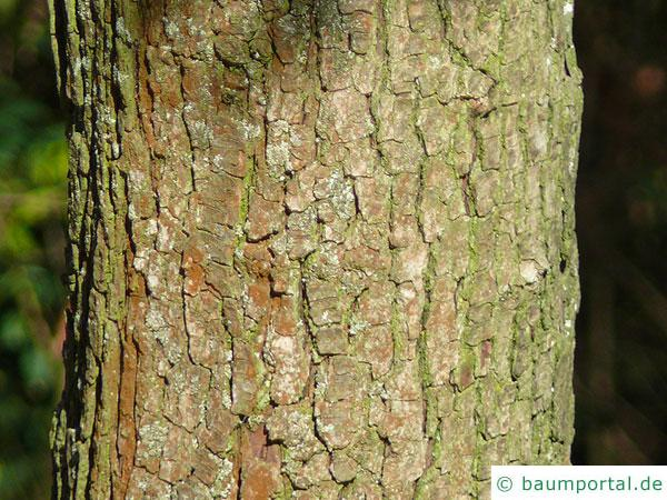 Rot-Dorn (Crataegus laevigata 'Paul's Scarlet') Stamm / Rinde / Borke
