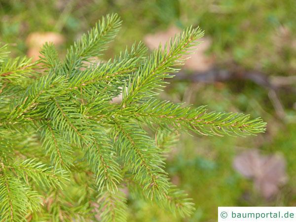 Rot-Fichte (Picea rubens) Zweige