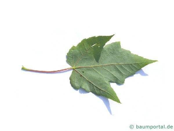 Rot-Ahorn (Acer rubrum) Blattrückseite