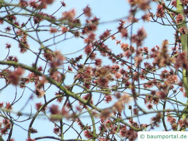 Rot-Ahorn (Acer rubrum) blüht sehr prachtvoll