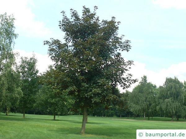 rötblättriger Ahorn (Acer platanoides 'Faassen's Black') Baum