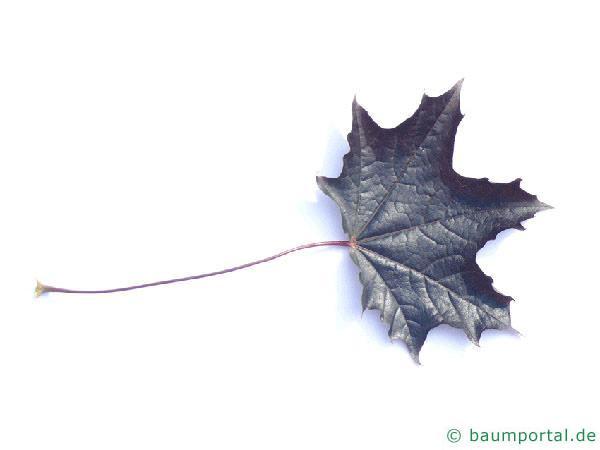 rotblättriger Ahorn (Acer platanoides 'Faassen's Black') Blatt
