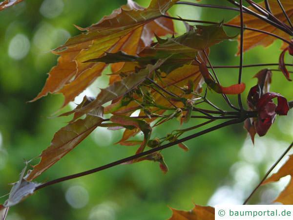 rotblättriger Ahorn (Acer platanoides 'Faassen's Black') Frucht