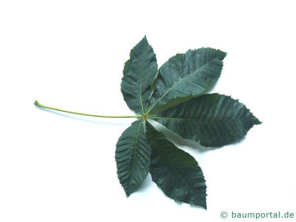 rotblühende Kastanie (Aesculus carnea) Blatt