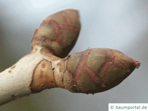 rotblühende Kastanie (Aesculus carnea) Endknospe