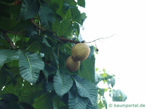 rotblühende Kastanie (Aesculus carnea) Frucht