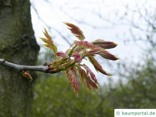 Roteiche (Quercus rubra) im Austrieb