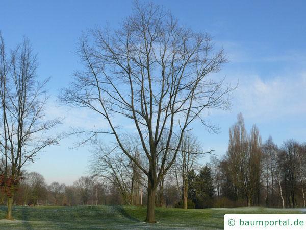 Roteiche (Quercus rubra) Baum