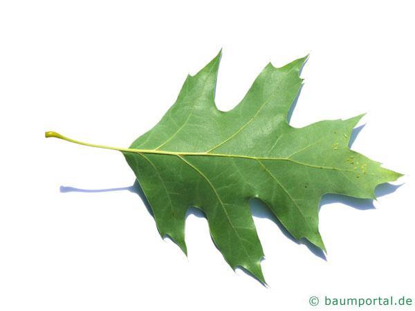 Roteiche (Quercus rubra) Rückseite des Blattes