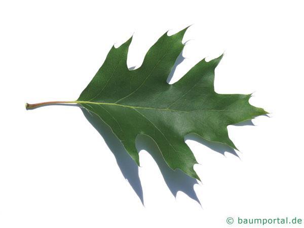Roteiche (Quercus rubra) Blatt
