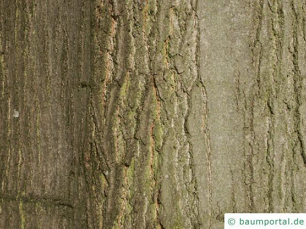 Roteiche (Quercus rubra) Stamm / Rinde / Borke