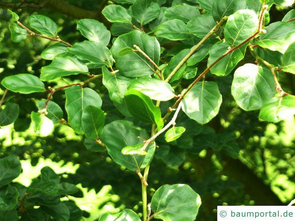 rundblättrige Buche (Fagus sylvatica 'Rotundifolia') Blätter