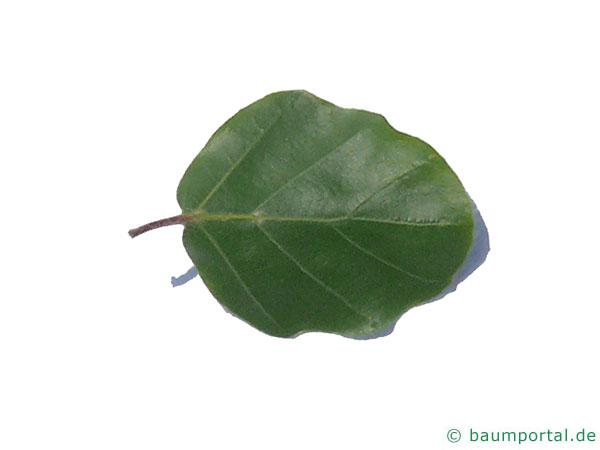 rundblättrige Buche (Fagus sylvatica 'Rotundifolia') Blatt Unterseite