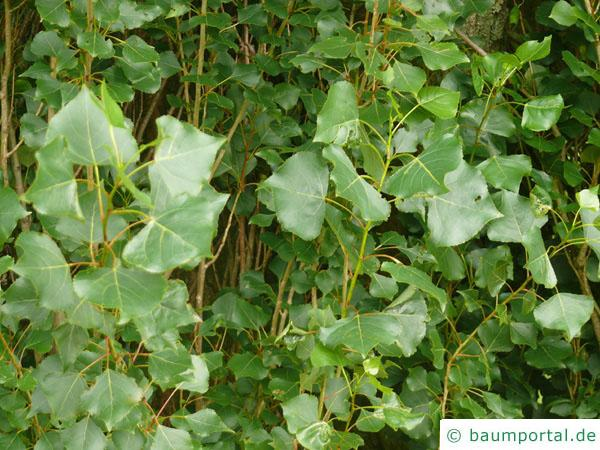 italienische Säulenpappel (Populus nigra 'Italica') Blätter