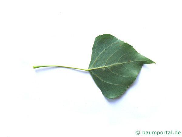 italienische Säulenpappel (Populus nigra 'Italica') Blattunterseite
