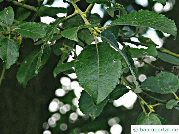 Sal-Weide (Salix caprea) Blätter
