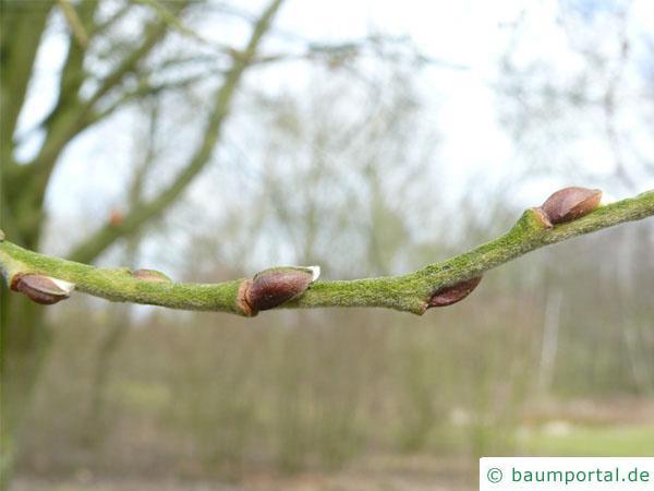 Sal-Weide (Salix caprea) Seitenknospen