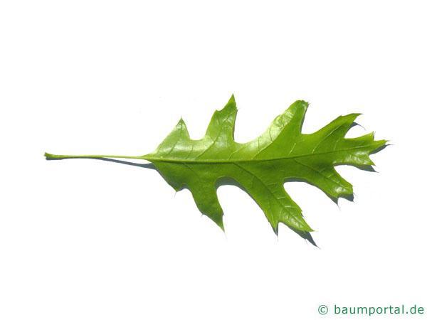 Scharlach-Eiche (Quercus coccinea) Blatt Rückseite