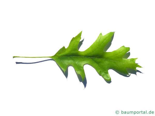 Scharlach-Eiche (Quercus coccinea) Blatt