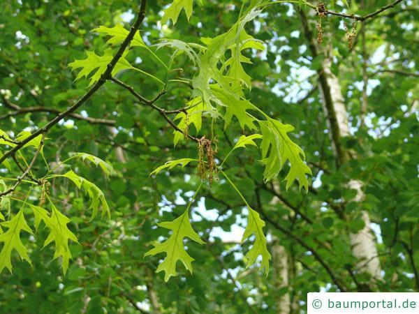 Scharlach-Eiche (Quercus coccinea) Blüten