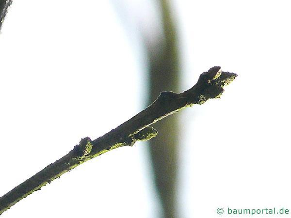 Scharlach-Eiche (Quercus coccinea) Zweig mit Knospe