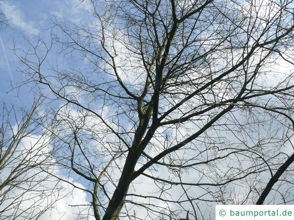 Scharlach-Eiche (Quercus coccinea) die Krone im Winter