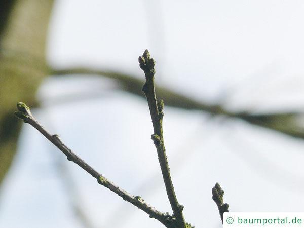 Scharlach-Eiche (Quercus coccinea) Seitenknospen