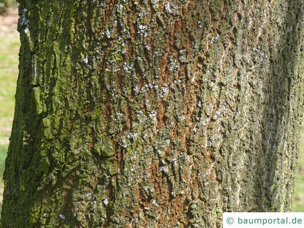 Scharlach-Eiche (Quercus coccinea) Stamm / Rinde / Borke