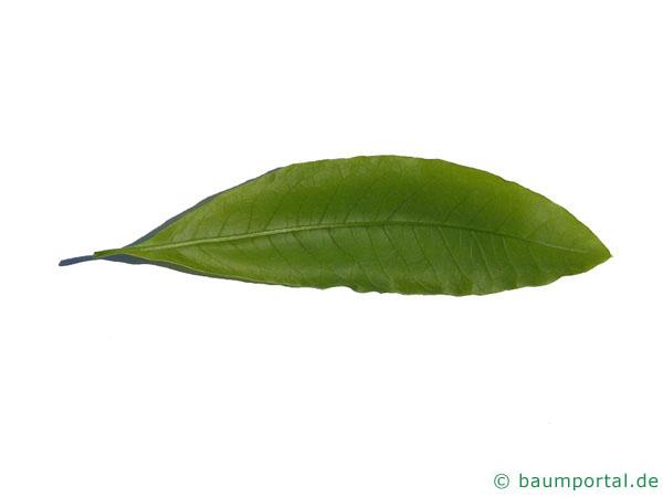 Schindel-Eiche (Quercus imbricaria) Blatt Rückseite
