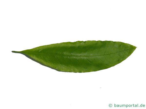 Schindel-Eiche (Quercus imbricaria) Blatt