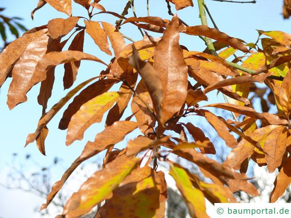 Schindel-Eiche (Quercus imbricaria) Herbstlaub