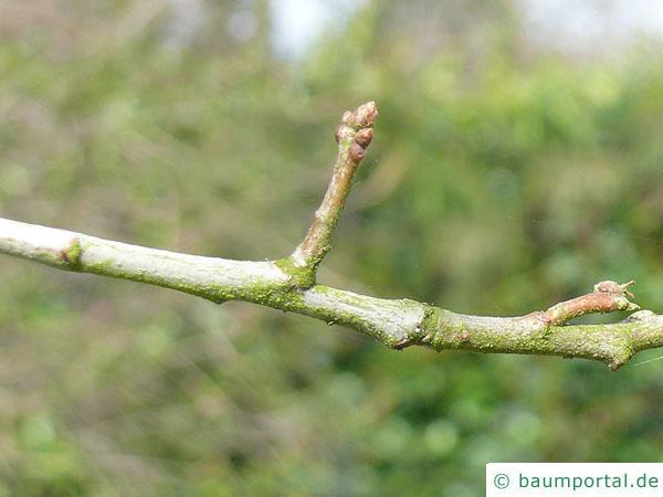 Schindel-Eiche (Quercus imbricaria) Seitenknospen