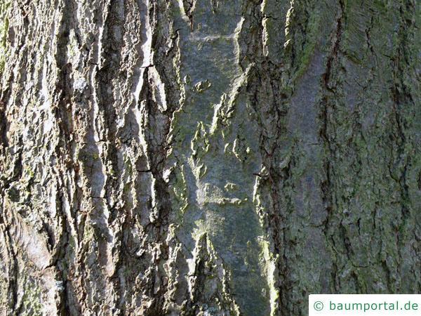 Schindel-Eiche (Quercus imbricaria) Stamm / Rinde / Borke