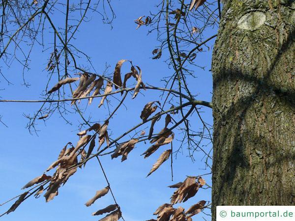 Schindel-Eiche (Quercus imbricaria) Laub im Winter