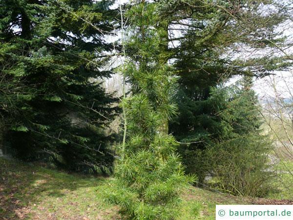 Schirmtanne (Sciadopitys verticillata) junger Baum