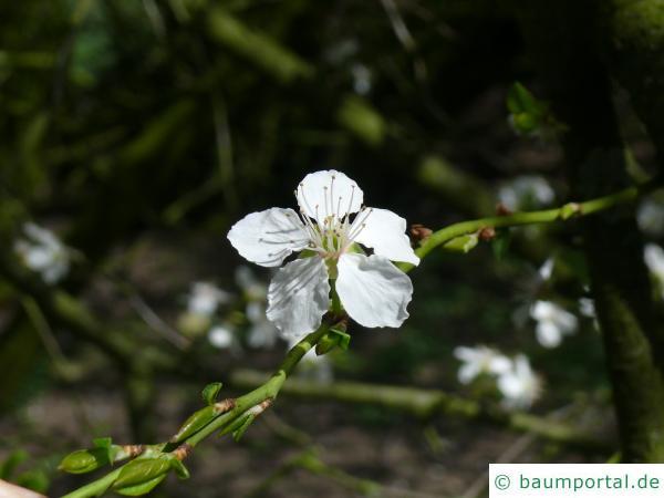 Schlehe (Prunus Spinosa) Blüte