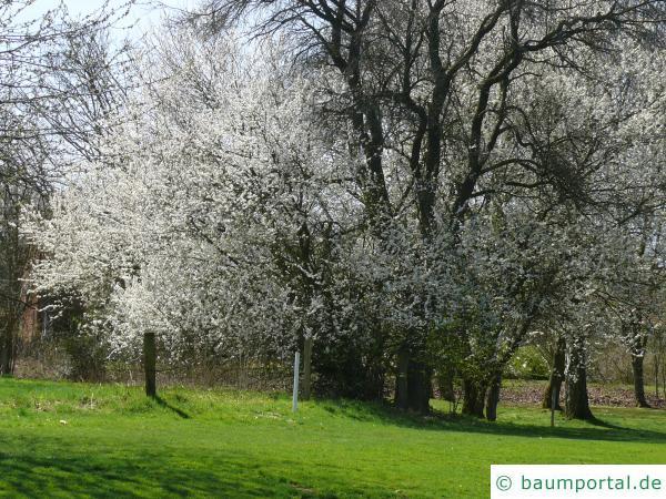 Schlehe (Prunus Spinosa) Baum