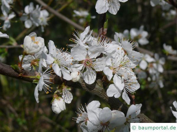 Schlehe (Prunus Spinosa) Blüten