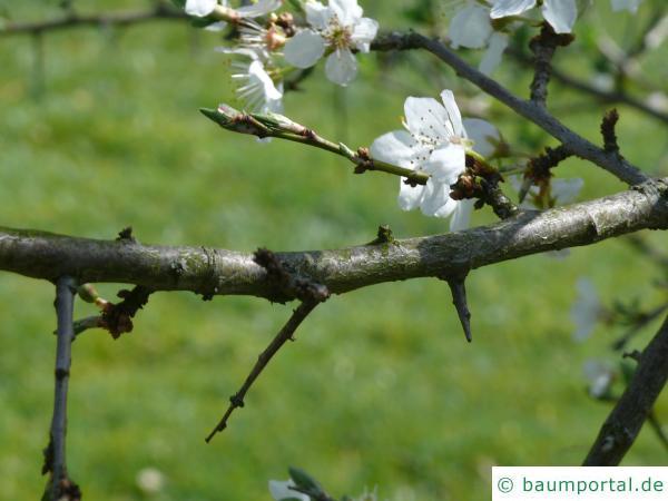 Schlehe (Prunus Spinosa) Zweig