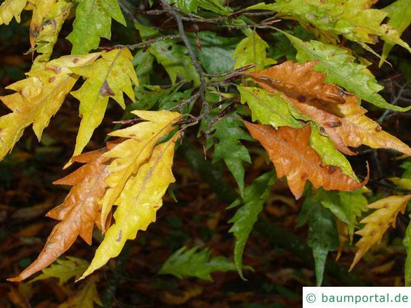 Geschlitztblättrige Buche (Fagus sylvatica 'Laciniata') Blätter im Herbst