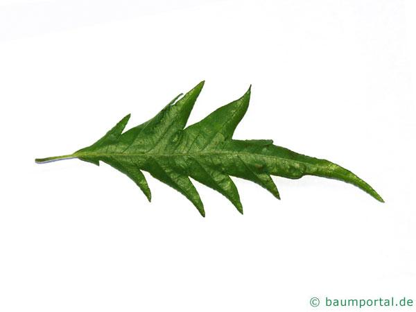 Geschlitztblättrige Buche (Fagus sylvatica 'Laciniata') Blatt Unterseite