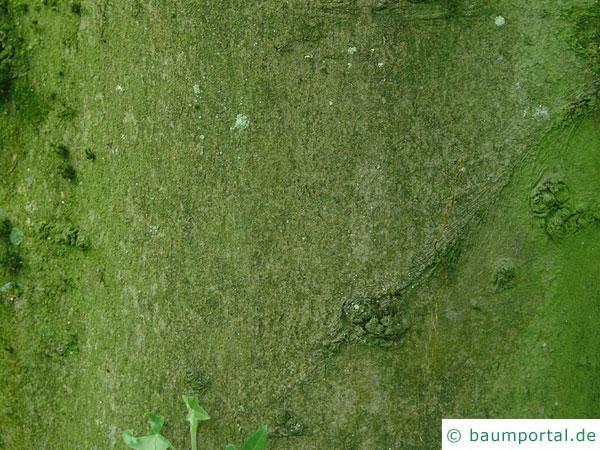 Geschlitztblättrige Buche (Fagus sylvatica 'Laciniata') Stamm / Rinde / Borke