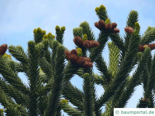 Schmucktanne (Araucaria araucana) Blüte / Zapfen