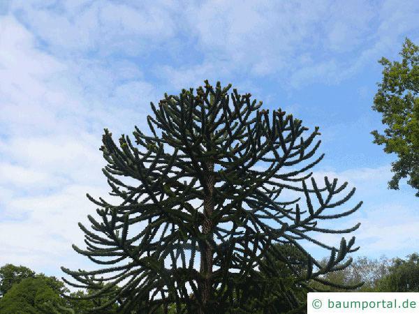 Schmucktanne (Araucaria araucana) Baum