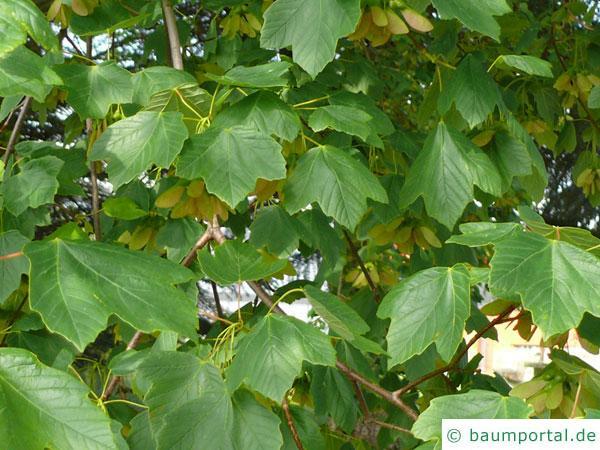 schneeballblättriger Ahorn (Acer opalus) Blätter
