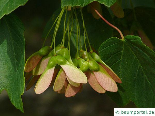 schneeballblättriger Ahorn (Acer opalus) Spaltfrucht: geflügelte Nüsschen