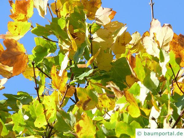 schneeballblättriger Ahorn (Acer opalus) Herbstfärbung